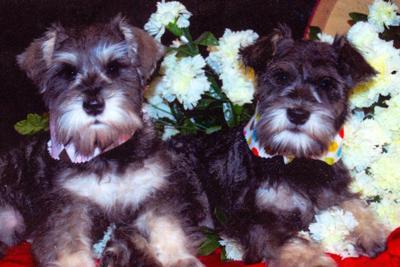 Schnauzers Alex and Hayden puppy picture