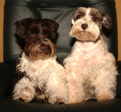 Miniature Schnauzers Sammy and Sophie