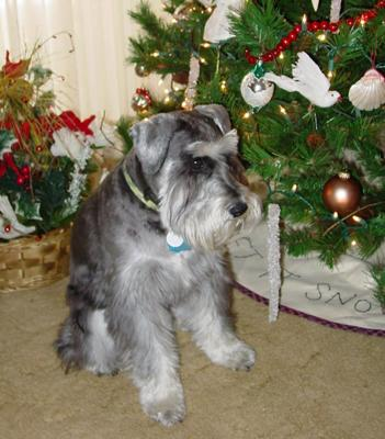 Miniature Schnauzer, Ebenezer at Christmas 2009