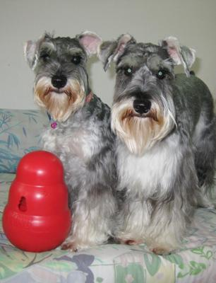 Jingle Bell and Happy with their Kong Wobbler