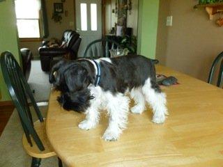 Schnauzer puppy Baxter at 5 months old