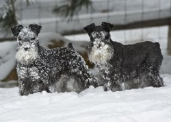 miniature schnauzer in snow