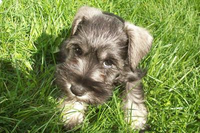 Mini Schnauzer Tanner 8 weeks old , his 1st time in grass