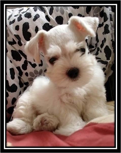 White Mini Schnauzer Puppy