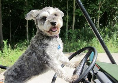 Schnauzer in the driver's seat, i'm driving!