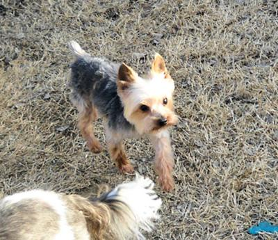 Clyde Yorkie
