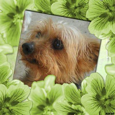 Yorkshire Terrier Sparky
