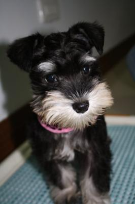 Miniature Schnauzer,  Zoey Mei Li - Schnauzer of the Month February 2010